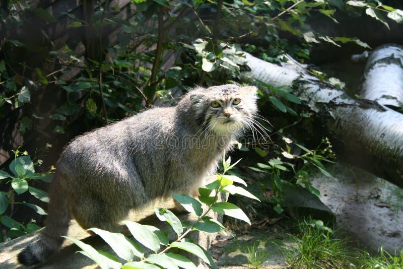 Download Gatto selvatico in zoo immagine stock. Immagine di grigio - 55360731