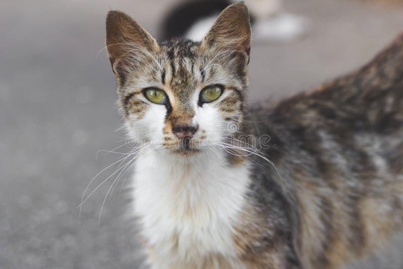 Gatto senza tetto grigio che esamina macchina fotografica portret degli animali domestici immagine stock