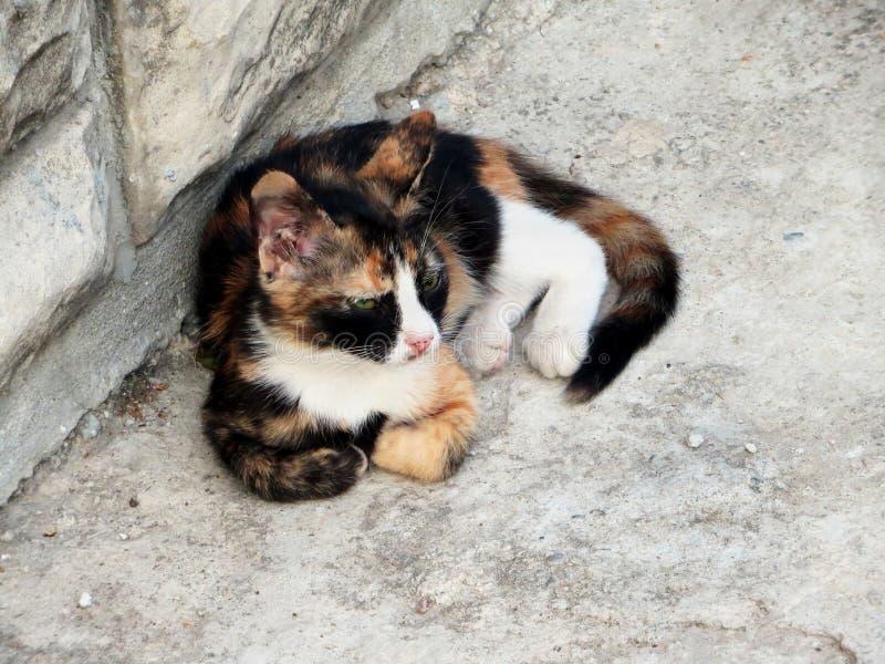 Gatto senza tetto rosso, bianco e nero tricolore che si trova nell'iarda fotografia stock