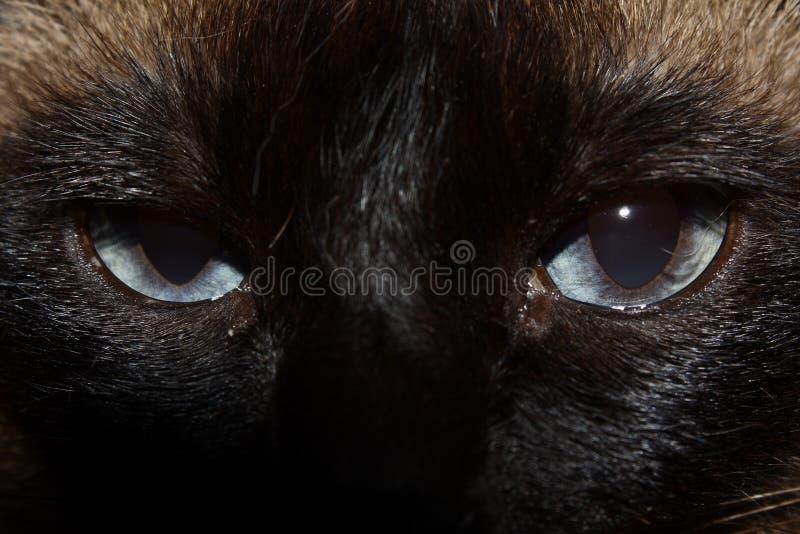 Gatto Siamese Immagine Stock Libera da Diritti