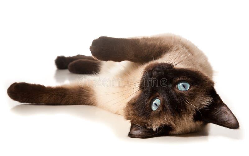 Gatto Siamese Immagini Stock