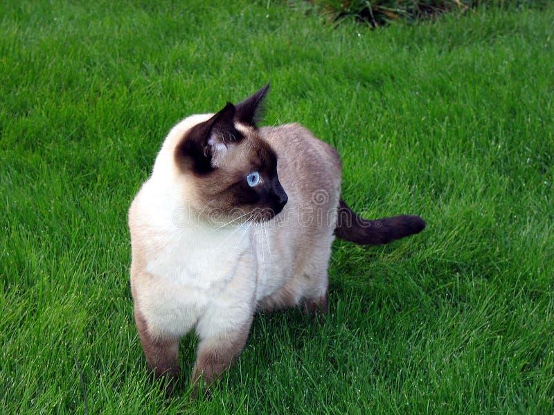 Gatto Siamese Immagine Stock