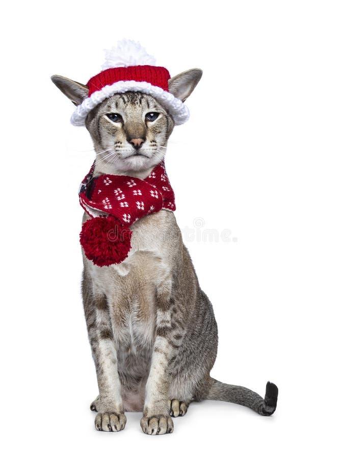 gatto siamese adulto, isolato su fondo bianco immagini stock libere da diritti