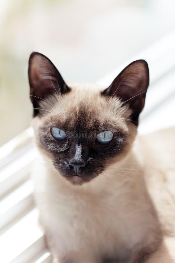 Gatto siamese che si siede alla luce solare della finestra che guarda intento fotografia stock