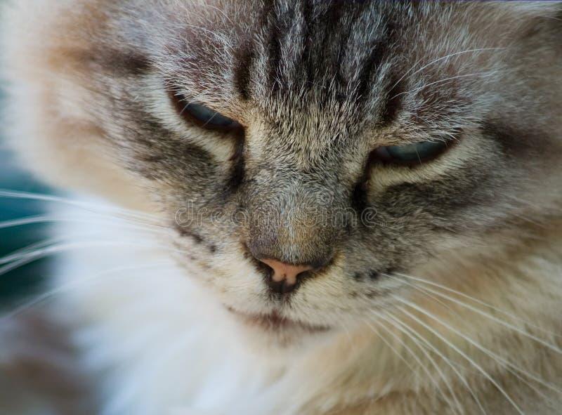 Gatto siberiano fotografie stock