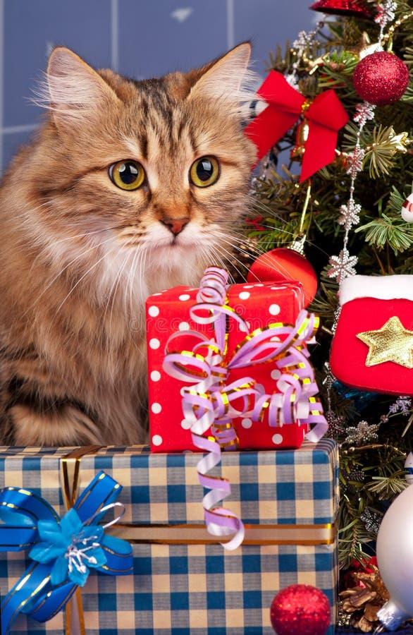Download Gatto siberiano immagine stock. Immagine di felice, pacchetto - 56889691