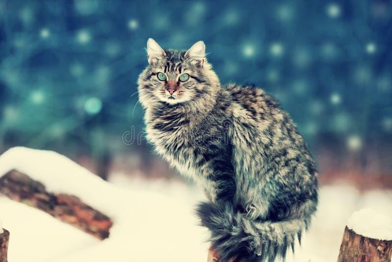 Gatto siberiano che si siede nel giardino fotografia stock