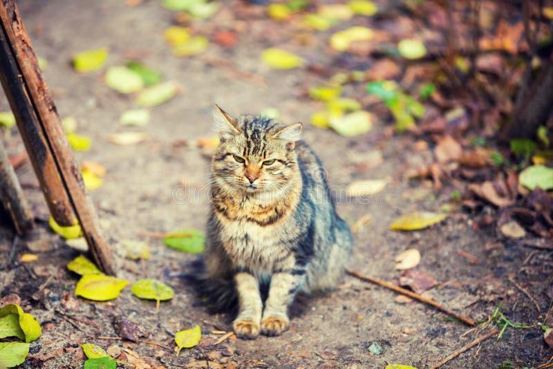 Gatto siberiano che si siede nell'iarda fotografia stock