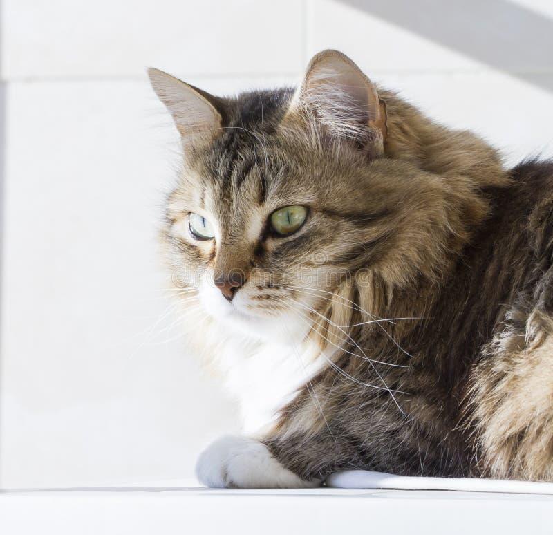 Gatto siberiano di bellezza, adulto bianco marrone di versione fotografie stock libere da diritti