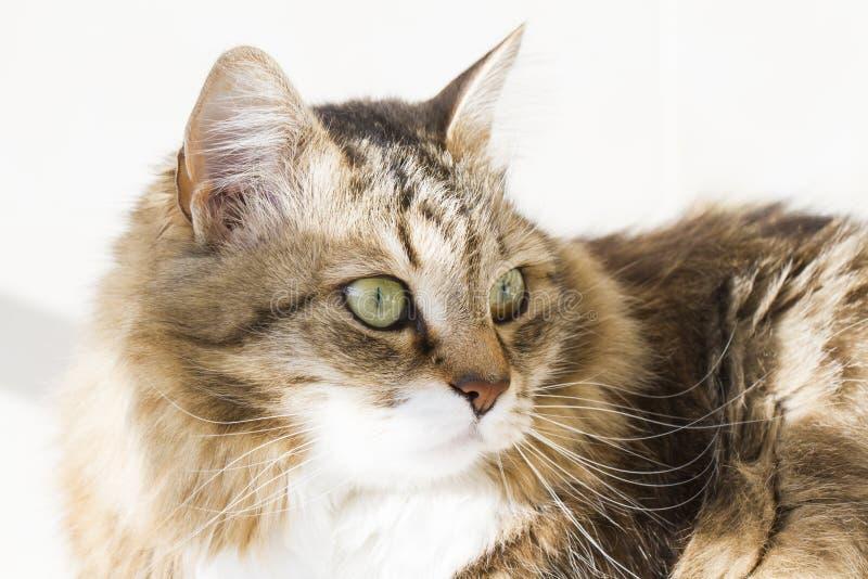 Gatto siberiano di bellezza, adulto bianco marrone di versione immagini stock