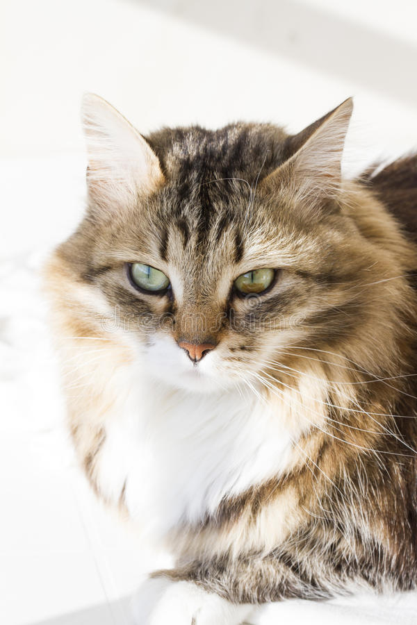Gatto siberiano di bellezza, adulto bianco marrone di versione fotografia stock