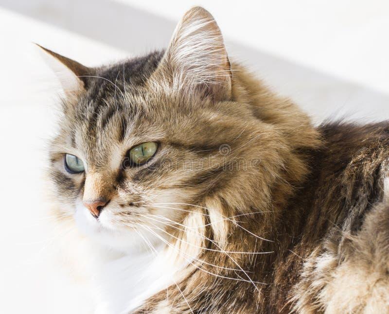 Gatto siberiano di bellezza, adulto bianco marrone di versione immagine stock libera da diritti