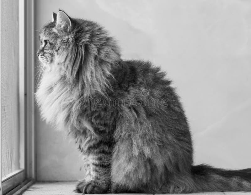 Gatto siberiano maschio del soriano marrone adorabile che si siede alla finestra fotografia stock