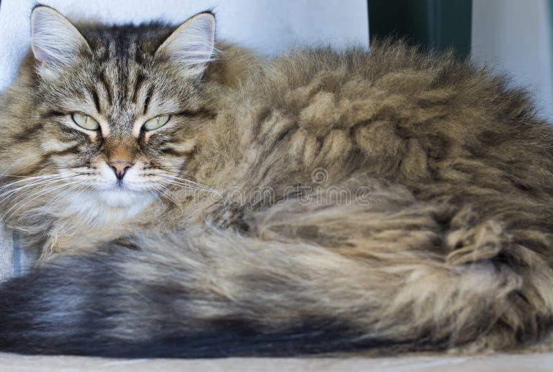 Gatto siberiano maschio del soriano marrone adorabile che si trova nella casa fotografia stock libera da diritti