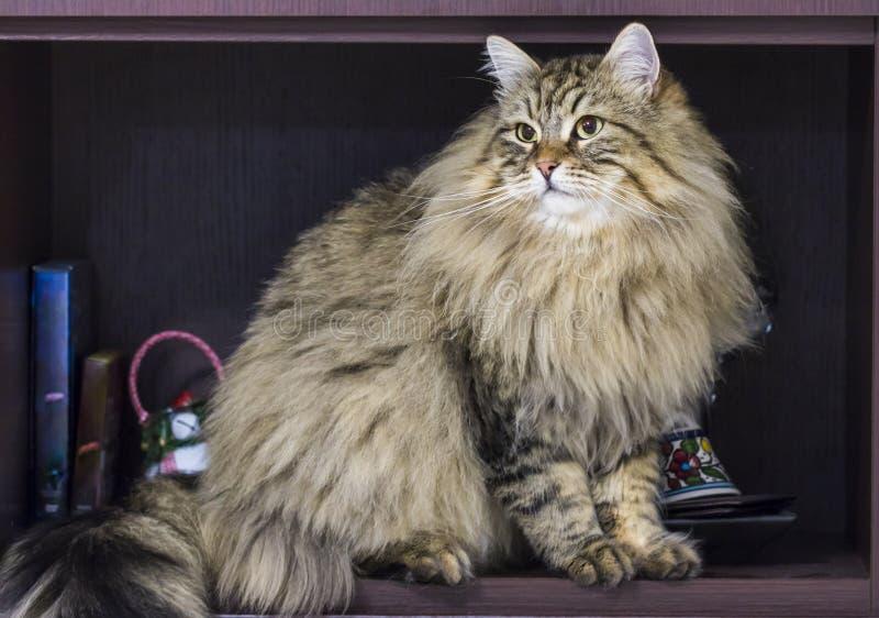 Gatto siberiano maschio del soriano marrone sveglio che si siede nella casa immagine stock