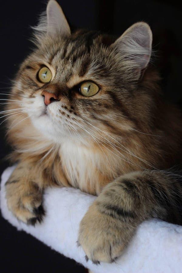 Gatto siberiano su un albero del gatto fotografia stock