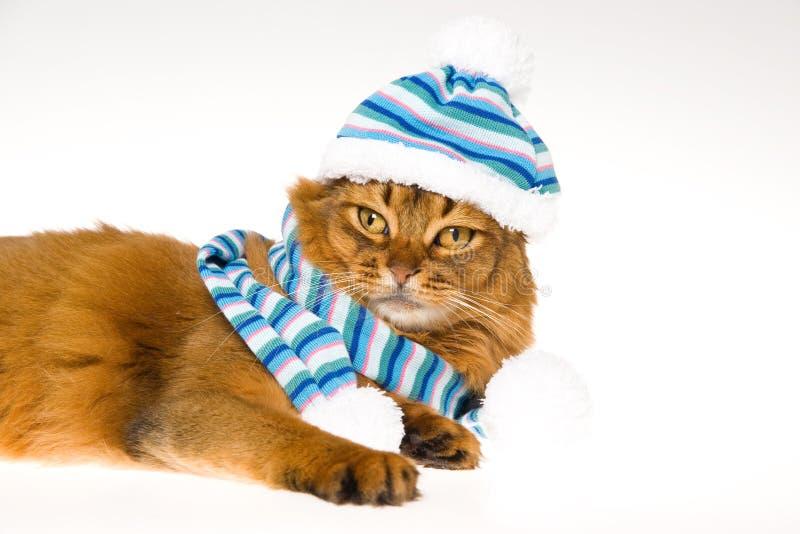 Gatto somalo che porta cappello lavorato a maglia su priorità bassa bianca immagini stock