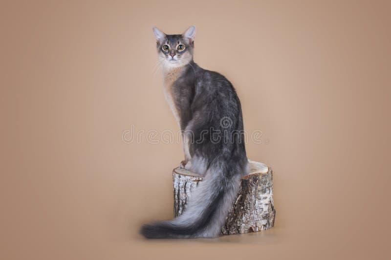 Gatto somalo che si siede su un ceppo di albero nello studio fotografia stock