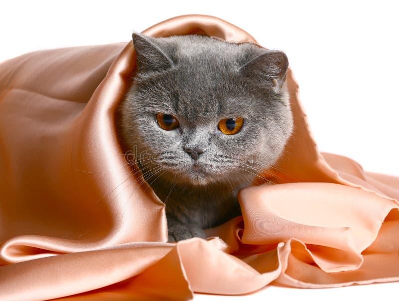 Gatto sotto un coverlet di seta. fotografia stock libera da diritti