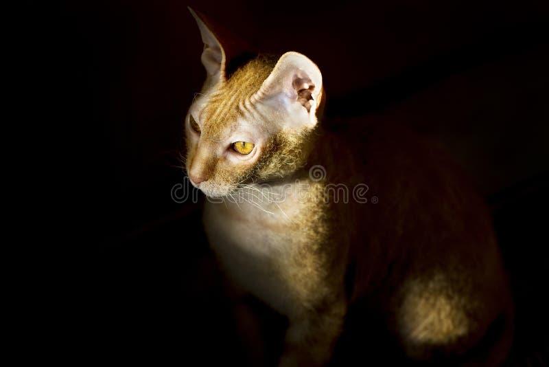 Gatto Sphynx nello scuro fotografie stock libere da diritti