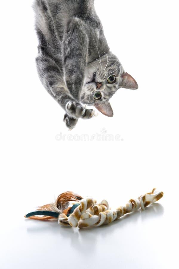 Gatto a strisce grigio che gioca upside-down. immagini stock