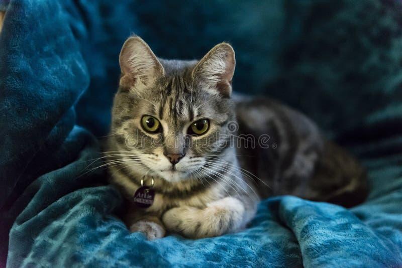 Gatto a strisce grigio che si trova sulla sedia che guarda in camera fotografie stock