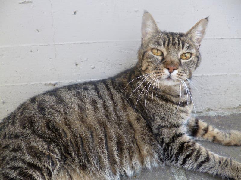 Gatto a strisce grigio con i bei occhi intelligenti immagine stock