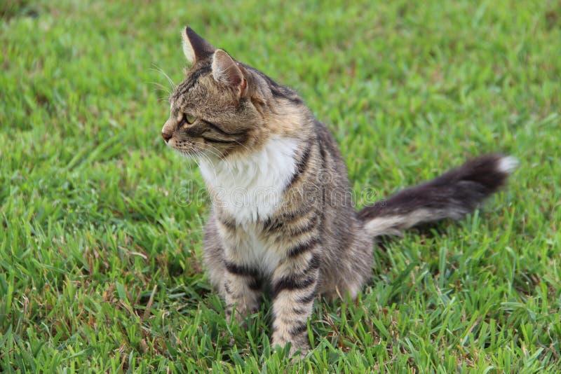 Gatto a strisce grigio lanuginoso nell'erba fotografia stock