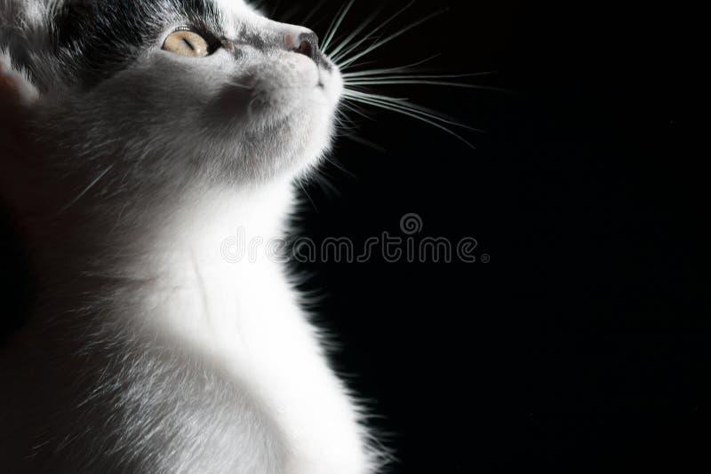 Gatto su priorità bassa nera Fine in su fotografia stock