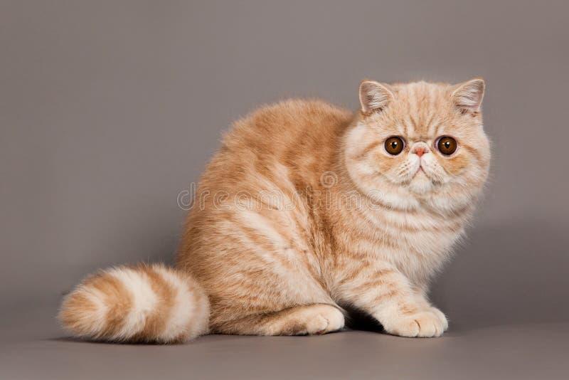 Gatto sul gatto persiano grigio dell'animale domestico del fondo fotografia stock libera da diritti
