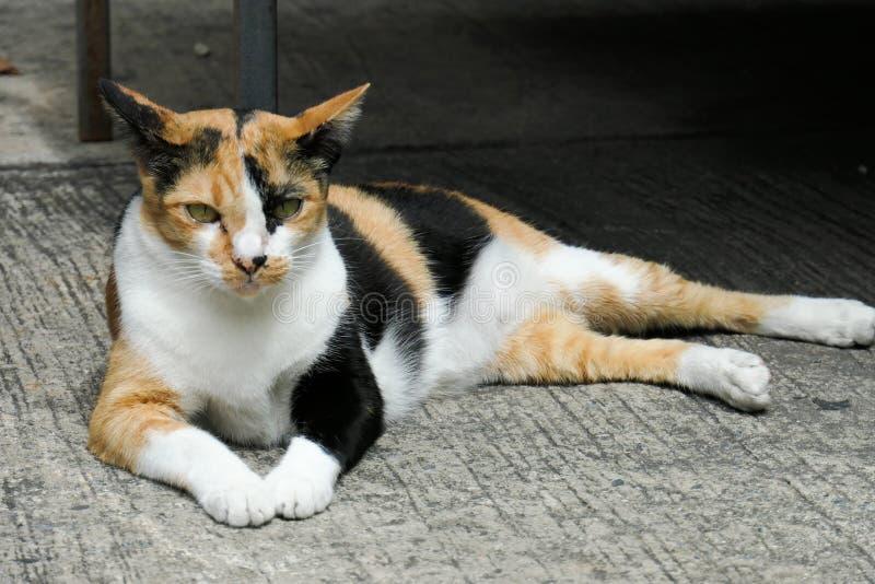 Gatto sul pavimento del cemento Gatti che si siedono sul pavimento del cemento, pelle tailandese del gatto fotografia stock