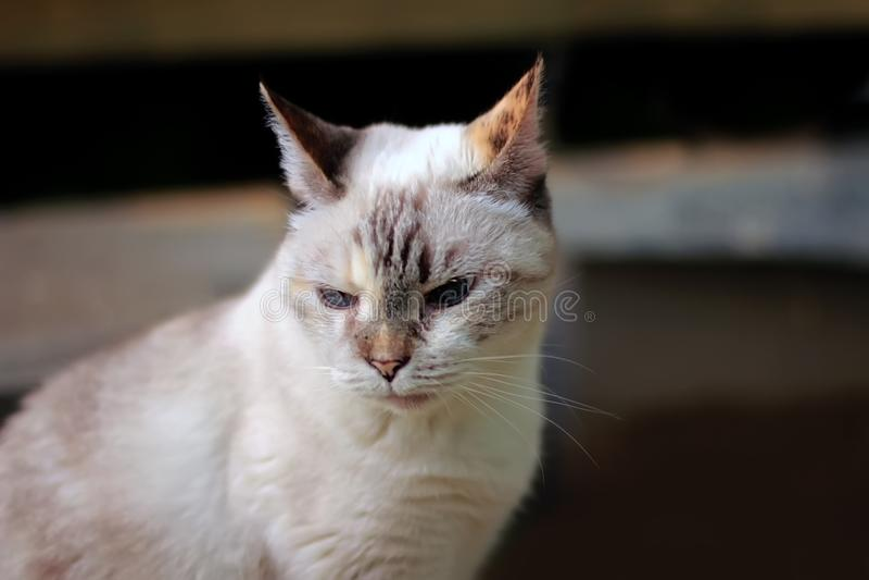 Gatto sulla via Colore del gatto come la razza tailandese fotografie stock