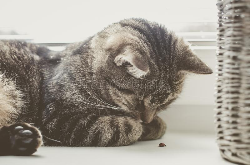 Gatto sveglio che gioca con la coccinella Il gatto di soriano si trova sulla finestra e dorme fotografie stock