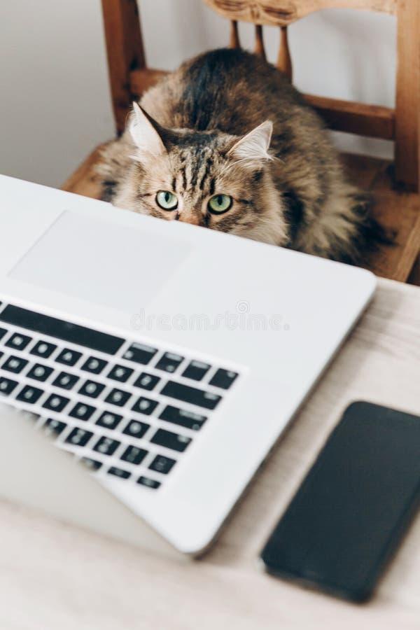 Gatto sveglio che si siede sulla sedia di legno alla tavola con il computer portatile h di lavoro fotografia stock
