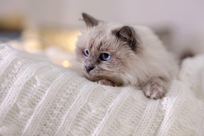 Gatto sveglio che si trova sulla coperta tricottata a casa fotografia stock