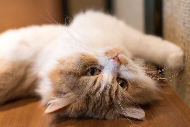 Gatto sveglio del ragdoll che allunga sulla sua parte posteriore fotografia stock libera da diritti
