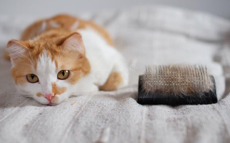 Gatto sveglio di menzogne e un pettine in pieno della pelliccia dell'animale domestico fotografia stock