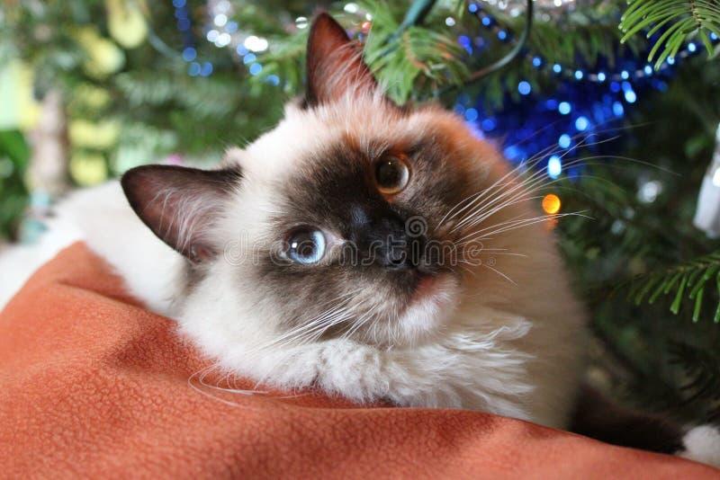 Gatto sveglio di Ragdoll al Natale fotografie stock libere da diritti