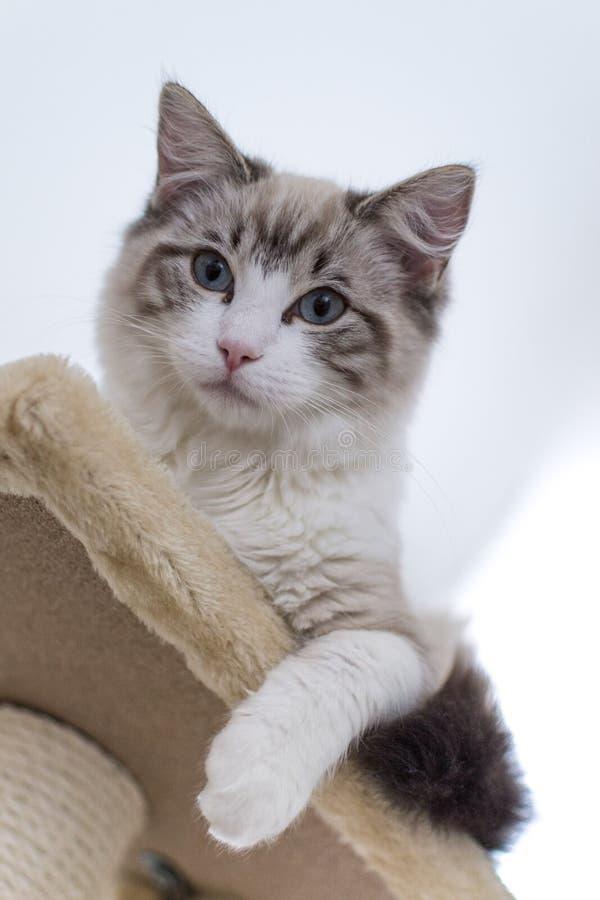 Gatto sveglio di Ragdoll dell'animale domestico su scratcher fotografie stock