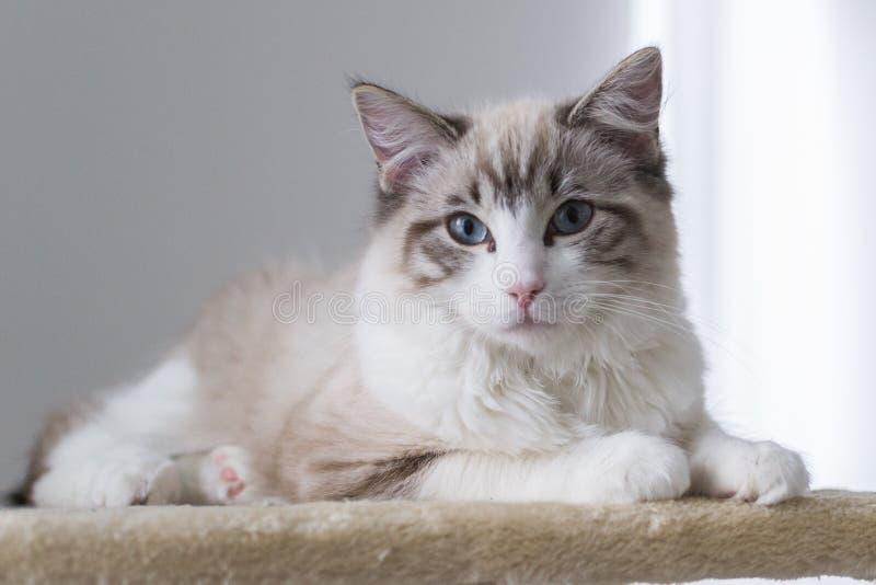 Gatto sveglio di Ragdoll dell'animale domestico su scratcher immagini stock libere da diritti