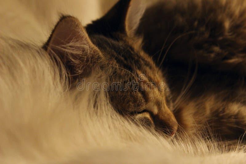 Gatto sveglio, fine in su Gattino di sonno immagini stock
