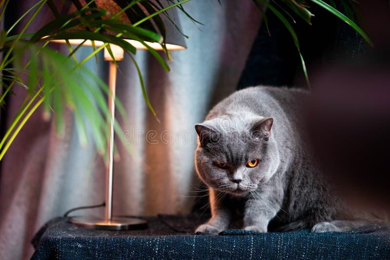 Gatto sveglio scontento britannico Concetto delle personalità degli animali domestici o degli animali immagini stock libere da diritti