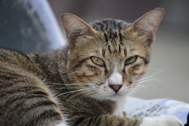 Gatto tailandese pigro fotografia stock