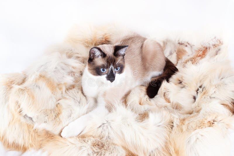 Gatto tailandese siamese che si siede su una coperta della pelliccia per gli animali domestici, isolata sui precedenti bianchi fotografia stock