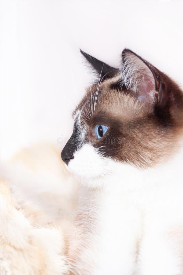 Gatto tailandese siamese che si siede su una coperta della pelliccia per gli animali domestici, isolata sui precedenti bianchi immagini stock