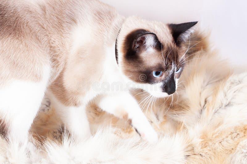 Gatto tailandese siamese che si siede su una coperta della pelliccia per gli animali domestici, isolata sui precedenti bianchi immagini stock libere da diritti