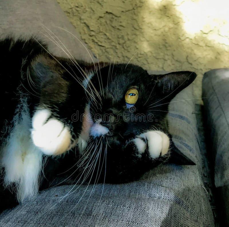 gatto Tuxedo fotografie stock libere da diritti