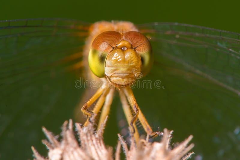 Gatunki brać przy Drewnianym Jeziornym natury centrum w Minnestoa meadowhawk dragonfly - krańcowy zbliżenie twarz i oczy - zdjęcie stock