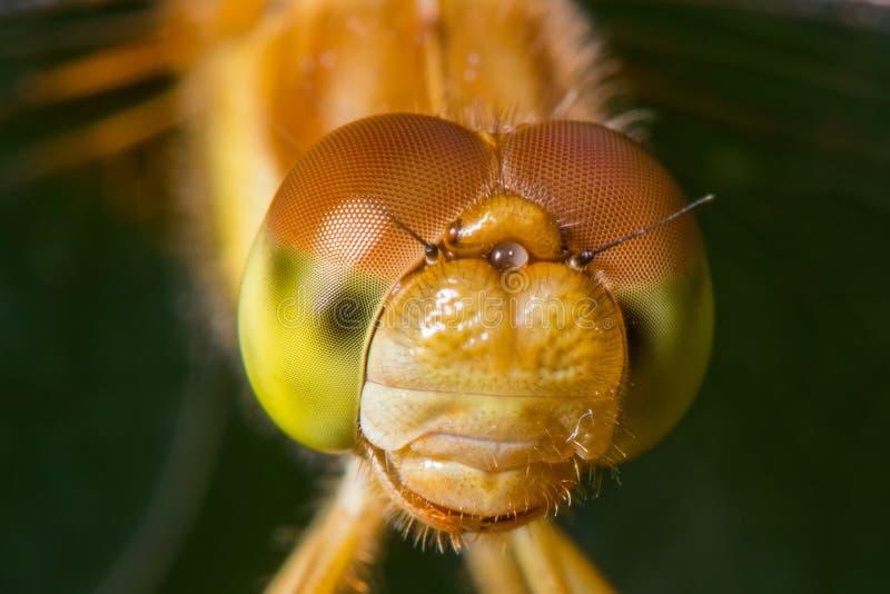 Gatunki brać przy Drewnianym Jeziornym natury centrum w Minnestoa meadowhawk dragonfly - krańcowy zbliżenie twarz i oczy - obraz stock