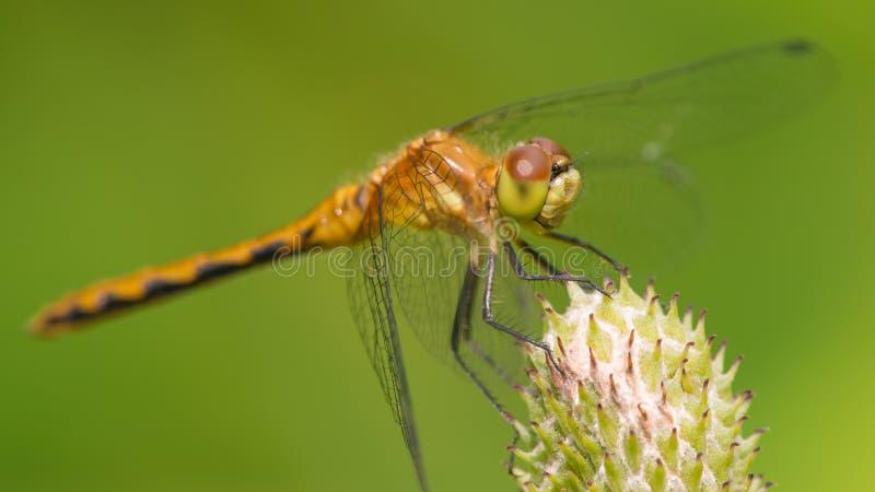Gatunki brać przy Theodore Wirth parkiem w Minneapolis meadowhawk dragonfly - krańcowy zbliżenie twarz i oczy - zdjęcie royalty free